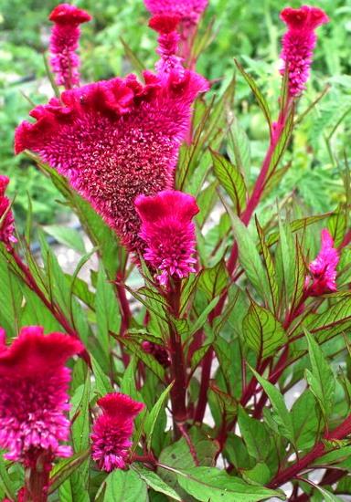 Индюшиные сопли цветы фото