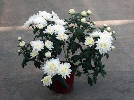 Размножение комнатных хризантем.