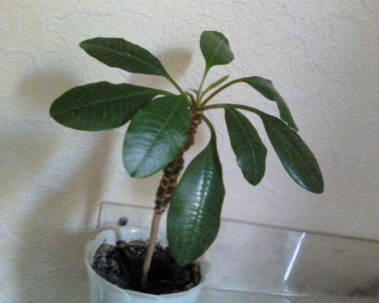 Мое первое растение - молочай