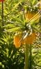 Садовые рябчики: посадка и уход
