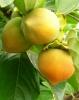 Выращивание и обрезка хурмы, гуавы, киви и актинидии