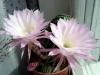 Совет по выращиванию кактусов в комнатных условиях.