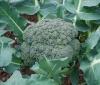 Брокколи: фото и выращивание