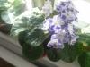 Время цветения фиалок