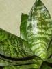 Сансевьере нужен умеренный полив