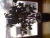 Выращивание фикуса на подоконнике.