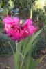 Гладиолус - цветок хрупкий и гордый одновременно