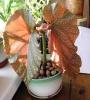 Рост и окраска листьев коралловой бегонии