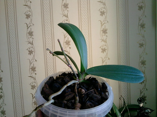 Правильное удобрение фаленопсиса
