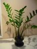 Замиокулькас - зелёное украшение моего дома