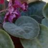 Как очистить листья фиалок от прилипшей уличной пыли?