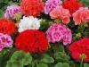 Прекрасный цветок герань!!!