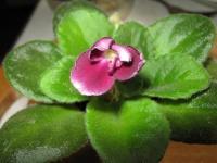 Первое цветение сенполии
