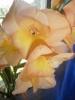 Выращивание гладиолусов: посадка и уход