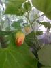 Абутилон - готовимся к первому цветению