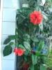 Цветение китайской розы осенью и зимой