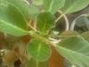Первое цветение глоксинии, выращенной из семян