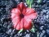 Всхожесть семян Петуньи
