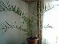 Пальма из косточки от финика.