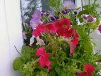 Выращивание петуний из семян