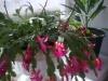 Чем подкармливать рождественский кактус