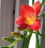 Выращивание фрезии: посадка и уход за цветком