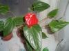 Как создать идеальные условия для цветения антуриума