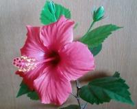 Жизнь одного цветка гибискуса