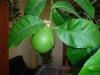 Комнатный лимон из семян