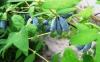 Жимолость - первая весенняя ягода.