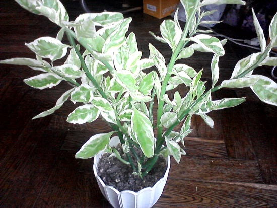 Комнатные цветы с зелеными и белыми листьями фото