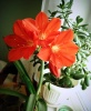 Гиппеаструм цветет: конец октября