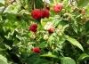 Выращивание малины на приусадебном участке