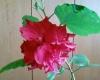 На одном кусте гибискуса  разного цвета цветки, но одинаковые по форме