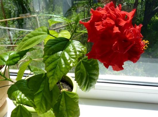 Обрезка гибискуса для обильного цветения