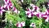 Выращивание петунии: посадка семян, уход и фото