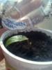 Разведение Суданской розы (Чайной розы)