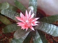 эхмея - цветок сказочной красоты!