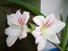 Как добиться повторного цветения гипеаструма?