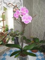 Орхидея. Удачный опыт.