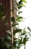 Лавровое деревце