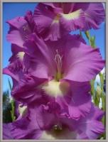 Гладиолус - царский цветок
