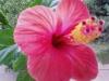 Обильное цветение гибискуса