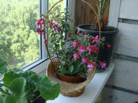 Комнатные растения фуксия - европолив.
