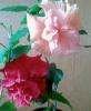 Два гибискуса в одном цветочном вазоне