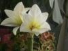 Почему у гиппеаструма цветы разной махровости?