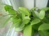 Как называется это комнатное растение?