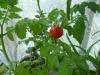 Декоративные комнатные помидоры - красиво и вкусно