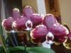 Как я выращиваю фаленопсисы на подоконнике дома.