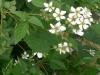 Ежевика садовая посадка и уход